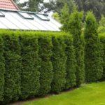 Живая изгородь: преимущества и недостатки